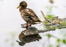 Reflexão do pato selvagem Fotografia de Stock