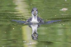 Reflexão do pintainho do galeirão na água Imagens de Stock