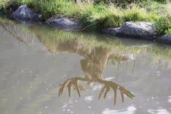 Reflexão dos alces de Bull no centro da conservação dos animais selvagens de Alaska Foto de Stock
