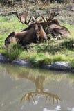 Reflexão dos alces de Bull & dos alces de Bull no centro da conservação dos animais selvagens de Alaska Imagem de Stock Royalty Free