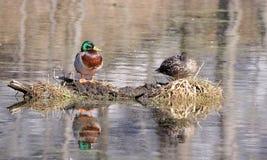 Reflexão dos pares do pato selvagem Fotos de Stock Royalty Free