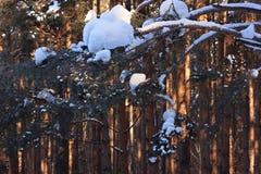 Reflexão dos raios de sol na floresta do pinho Fotos de Stock