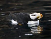 Reflexão Horned Alaska do papagaio-do-mar Imagem de Stock