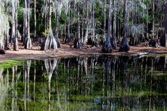 Reflexões da árvore de Cypress Fotos de Stock Royalty Free