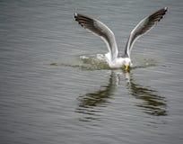 Reflexões da gaivota de Califórnia foto de stock royalty free