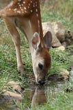 Reflexões de Bambi Fotografia de Stock