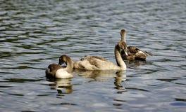 Reflexões de cisnes novos da cisne fotografia de stock