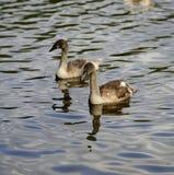 Reflexões de cisnes novos de uma cisne fotografia de stock royalty free