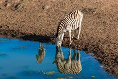 Reflexões de espelho da água da vitela da zebra fotos de stock