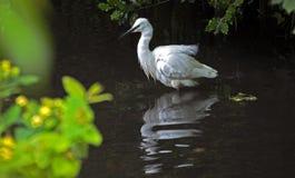 Reflexões de um Egret Fotos de Stock