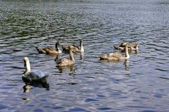 Reflexões de uma cisne e de cisnes novos imagens de stock royalty free