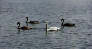 Reflexões de uma cisne e de cisnes novos imagem de stock royalty free