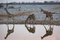 Reflexões do girafa em um waterhole fotografia de stock royalty free