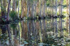 Reflexões em um pântano Imagem de Stock