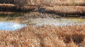 Reflexões gramíneas da lagoa dos bancos do ouro & parque estadual de Grandview dos ventos, WV video estoque
