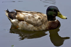 Reflex of a duck Royalty Free Stock Image