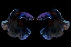 Reflex von kämpfenden Fischen Siams auf schwarzem Hintergrund Stockfotos