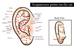 Reflex zones on the ear. Acupuncture points on the ear. Map of a Stock Images