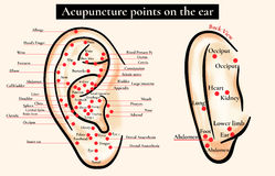Reflex zones on the ear. Acupuncture points on the ear. Map of a Stock Photos