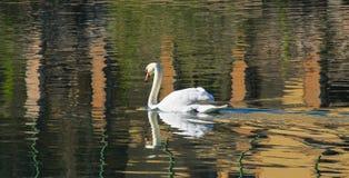 Reflexed swan Royalty Free Stock Image