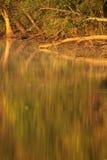 Reflexión abstracta de árboles de hojas caducas Foto de archivo libre de regalías