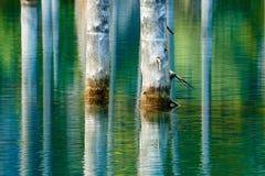 Reflexión de árboles en un fondo verde del lago Fotos de archivo libres de regalías