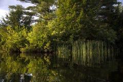 Reflexión de cañas iluminadas por el sol y de árboles Imágenes de archivo libres de regalías