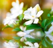 Reflexión de la agua ligera de la llamarada de la flor de Inda (nieve dulce) Fotografía de archivo