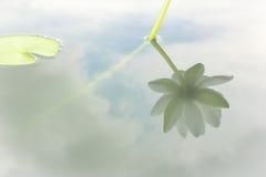 Reflexión de la flor de loto blanco en agua Fotografía de archivo