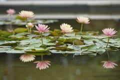 Reflexión de la flor del lirio de agua en el agua fotografía de archivo libre de regalías