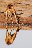 Reflexión de la jirafa Foto de archivo libre de regalías