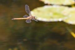 Reflexión de la libélula en jardín del zen imagen de archivo libre de regalías