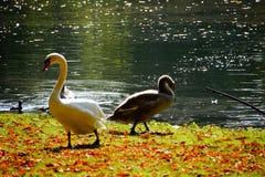 reflexión de la naturaleza del cisne del lago del otoño Imagen de archivo