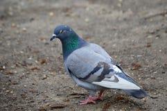Reflexión de la paloma Imagen de archivo libre de regalías
