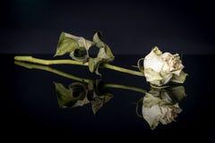 Reflexión de la rosa Imagenes de archivo