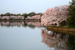 Reflexión de las flores de cerezo foto de archivo