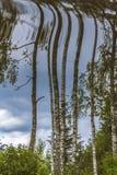 Reflexión de los árboles de abedul en agua Fotos de archivo