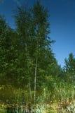 Reflexión de los árboles de abedul en el agua de la charca del bosque Imagen de archivo libre de regalías
