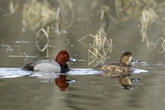 Reflexión de los pares del pato del pelirrojo Foto de archivo