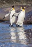 Reflexión de los pingüinos de rey en agua Imagenes de archivo
