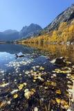 Reflexión de montañas, de álamos tembloses, y del pato Imagen de archivo libre de regalías