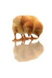 Reflexión de pollos Imagenes de archivo