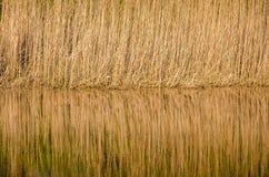 Reflexión de Reed Imagen de archivo