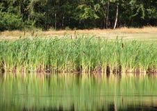 Reflexión de Reed en el lago con el campo y el bosque en fondo Imagen de archivo libre de regalías