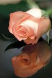 Reflexión de Rose Fotos de archivo libres de regalías