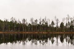 Reflexión del árbol de pino en el lago del pantano fotografía de archivo