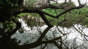 Reflexión del árbol muerto que pone en la charca fotos de archivo libres de regalías