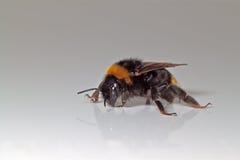 Reflexión del abejorro Fotografía de archivo libre de regalías