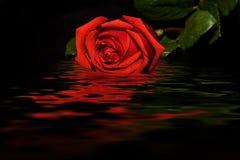 Reflexión del agua del fondo del negro de la rosa del rojo fotografía de archivo libre de regalías
