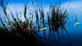 Reflexión del cielo en el agua tiene algún planta en la reflexión del agua y del cielo azul Foto de archivo libre de regalías